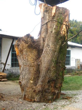 Сухие деревья на корню